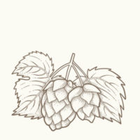 Illustrazione del luppolo